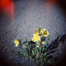 "Photograph ""Flowers in Gravel"" shot with a Holga camera"